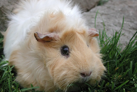 curly long haired guinea pig. The Coronet is one of the long-haired cavies. The fur sweeps back from a