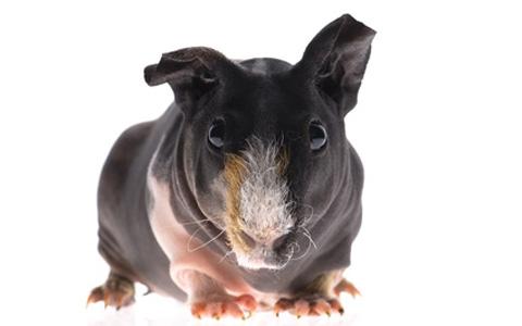 Skinny Hairless Guinea Pig