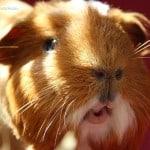 Guinea Pig Lips