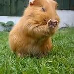 Guinea pig having a clean