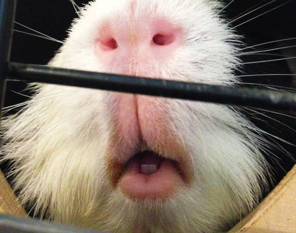 Up close pictures of Mischief the guinea pig's lips