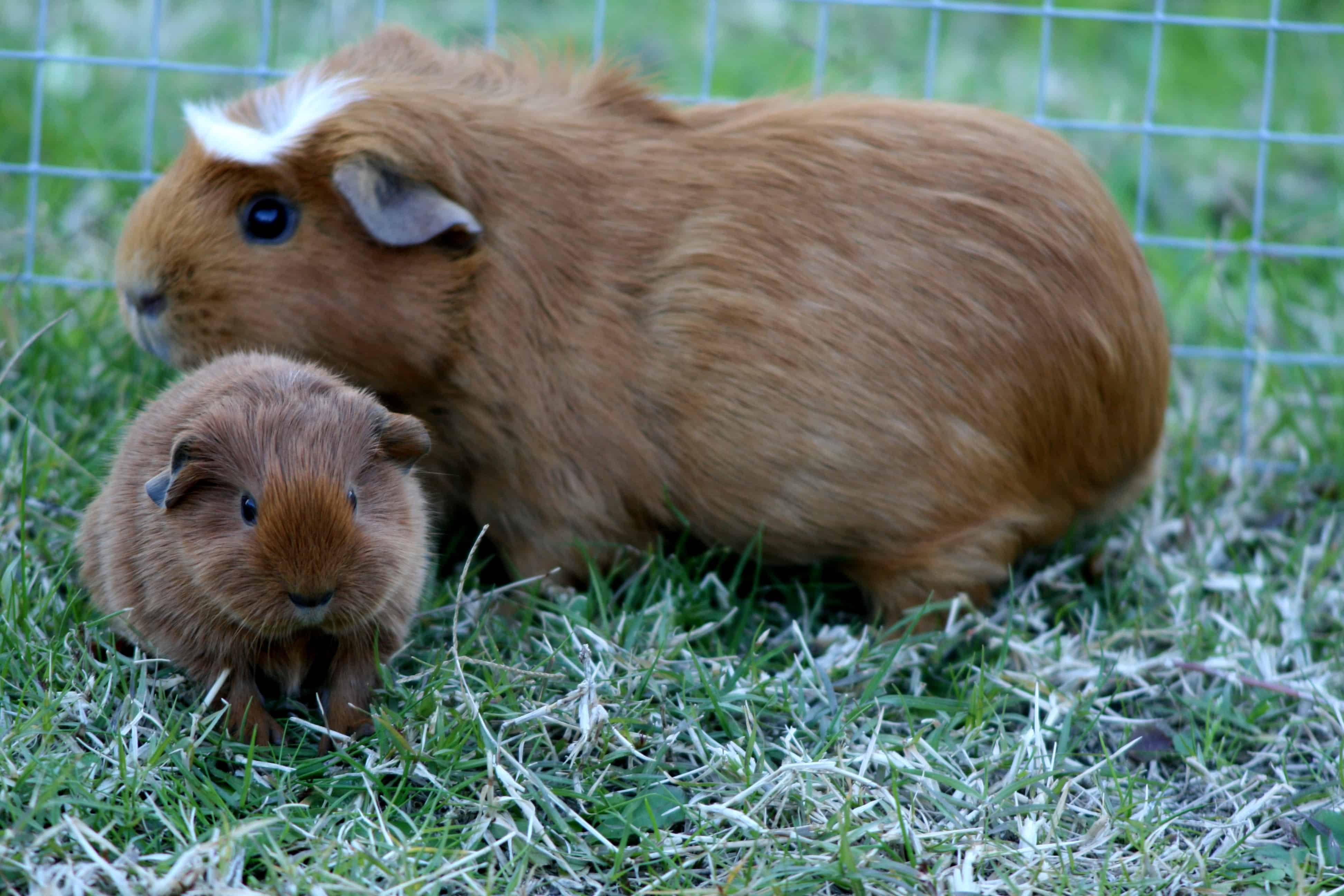 Your Guinea Pig S Pregnancy The Stages Of Pregnancy